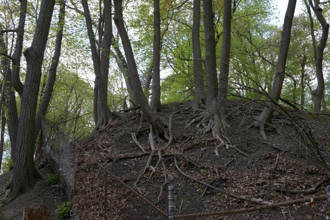 Norway Maple (Acer platanoides): when street trees break bad.