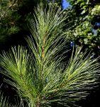564px-Pinus_strobus_needles3